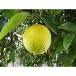 Huile Minceur au Citron et Cyprès